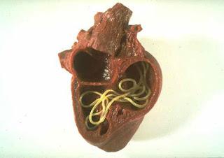 Dirofilaruje u srčanom mišiću - Panvet veterinarska stanica Subotica