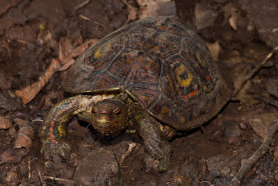 Painted wood Turtle