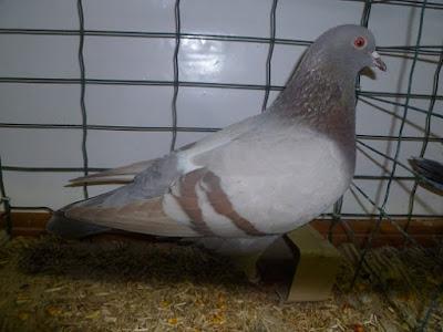 formentaube - form pigeons