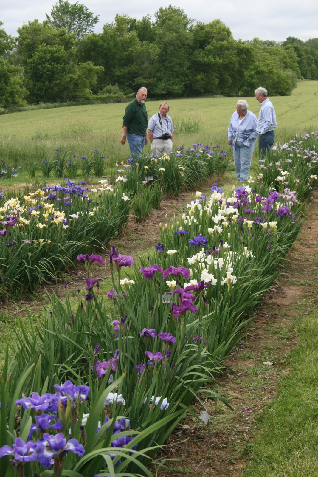 World of irises growing siberian irises siberian iris seedlings izmirmasajfo