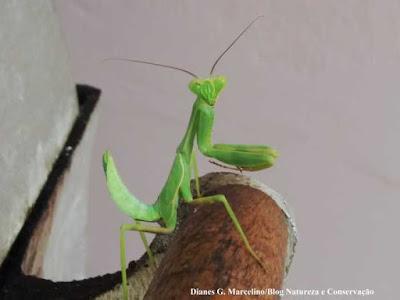 louva deus, louva a deus, cavalinho-de-deus, praying mantis, mantis, insect, animais, predadores da natureza, criaturas da natureza, bichos curiosos, animais curiosos, Parauapebas