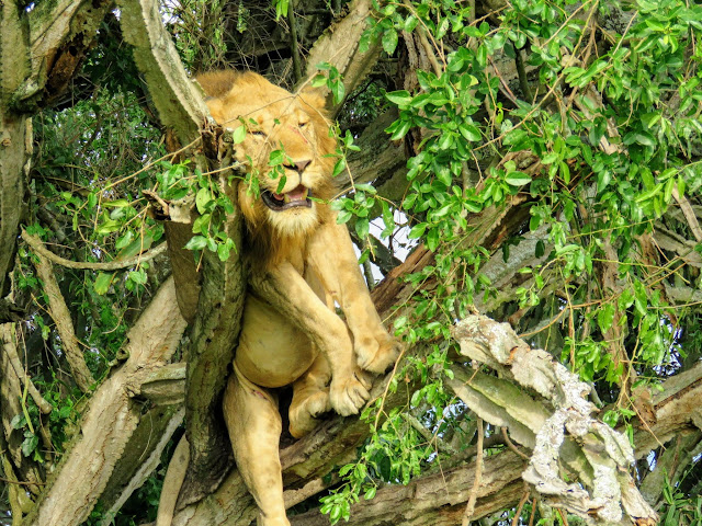 Lion in a tree in Queen Elizabeth National Park in Uganda