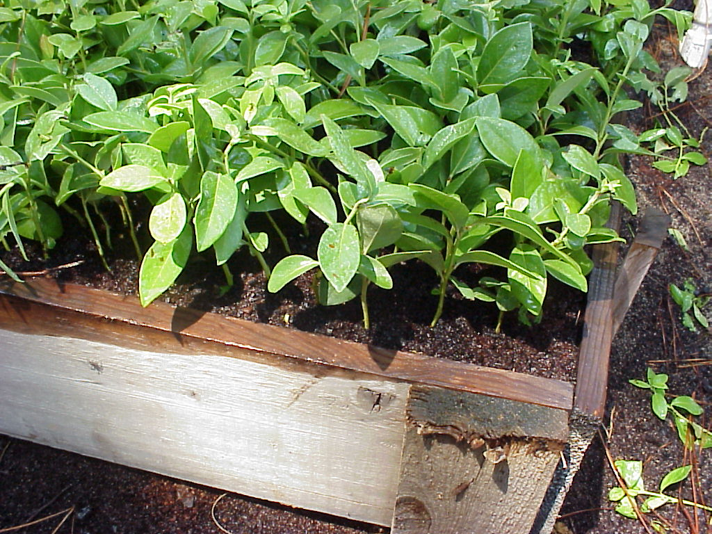 The NC Blueberry Journal: Notes on softwood propagation