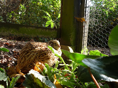 Four-year old organic golden quail