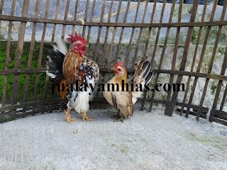 Ayam Serama Dewasa Sepasang
