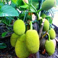 cara menanam nangka mini dalam pot