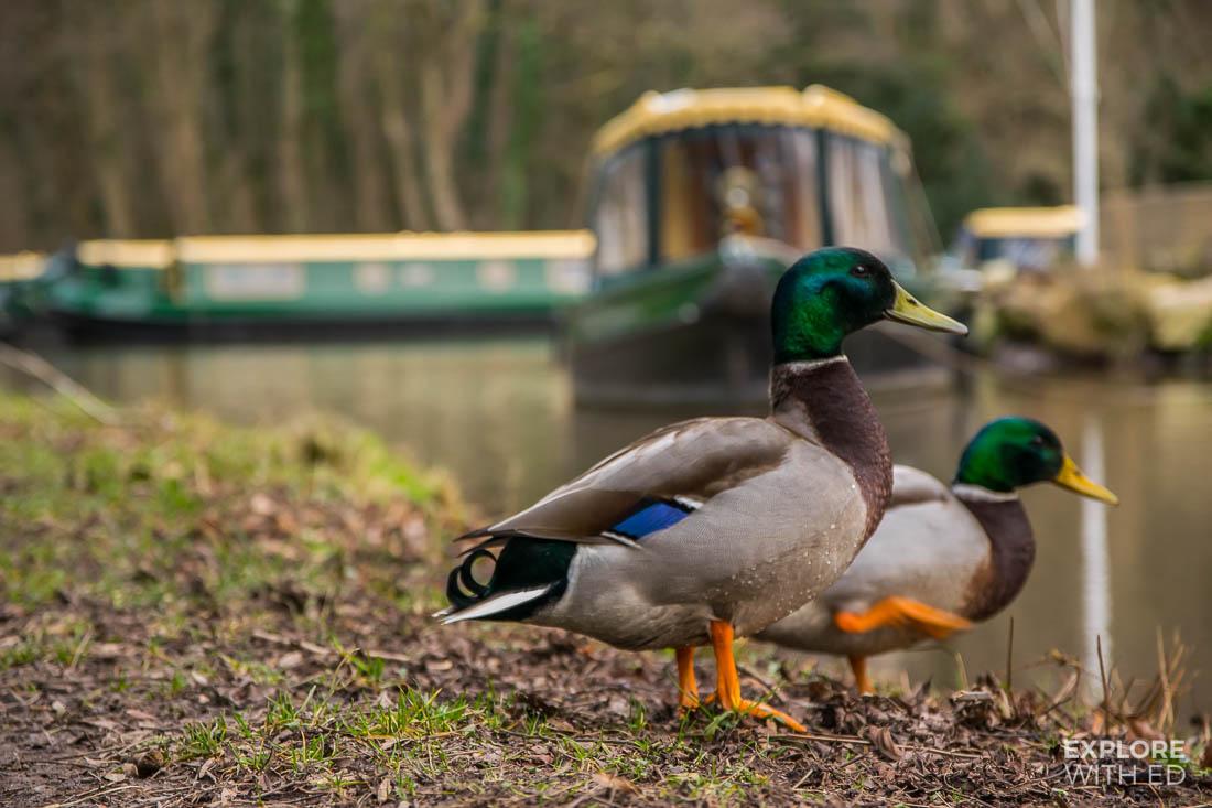Canal ducks in Llangattock
