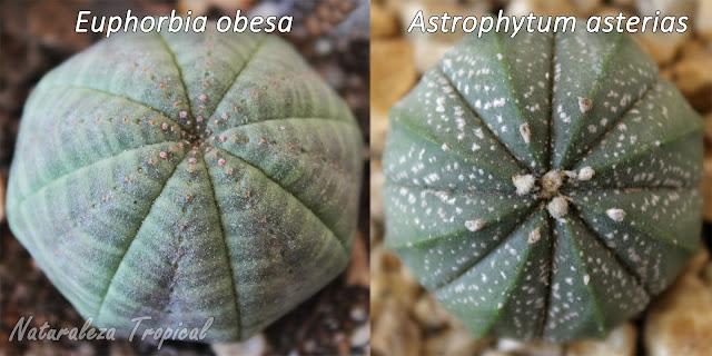 Similitud morfológica entre dos plantas suculentas debido a la evolución convergente. Euphorbia obesa y Astrophytum asterias