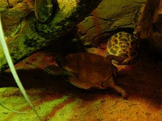 リヴォルノ水族館のカメ