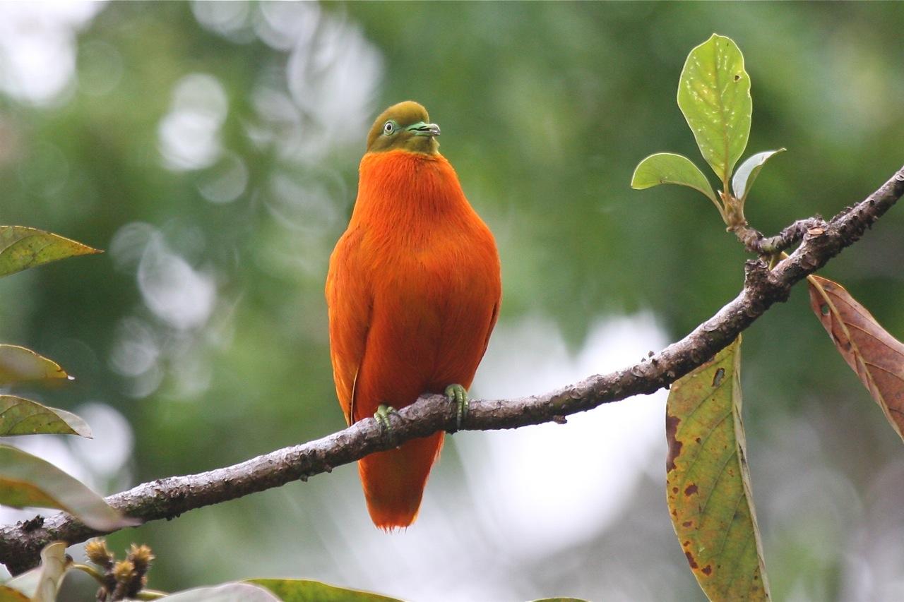 حمامة الفاكهة البرتقالية Ptilinopus victor 1%25D8%25AD%25D9%2585%25D8%25A7%25D9%2585