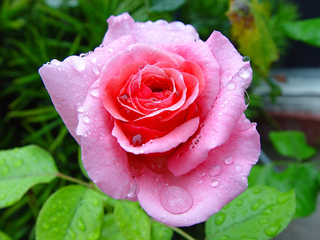 Beautiful Pink Rose Wallpapers Free Download