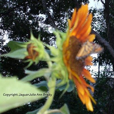 Monarch butterfly on Autumn Beauty Sunflower blossom
