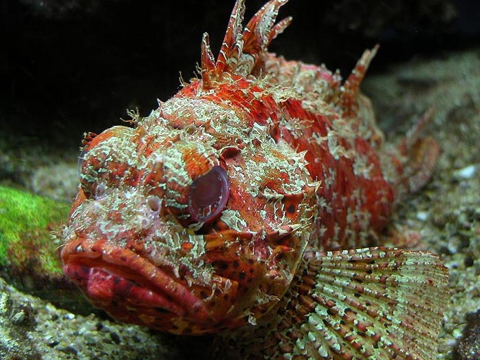 Scorpion Fish - Life of Sea