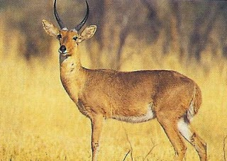 Southern reedbuck