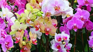 Beautiful Orchid Flower Wallpapers