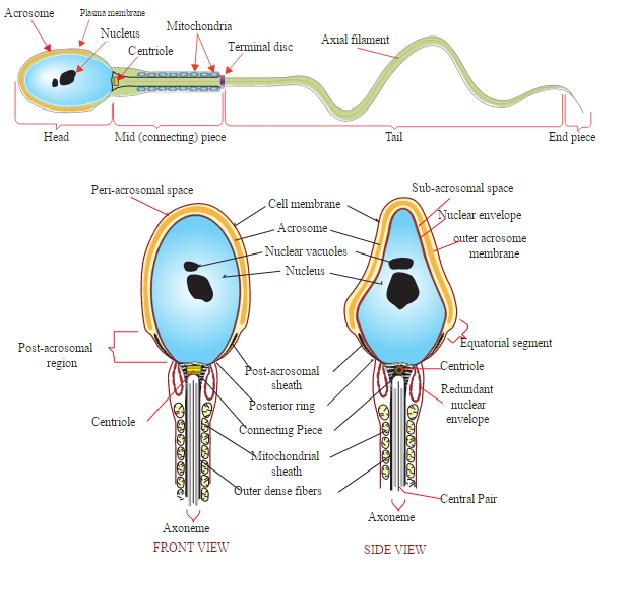 Kepala sperma : akrosom dan intisel