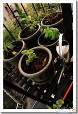 Growing herbs on a balcony