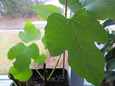 Ficus caria 'Bornholms Diamant'