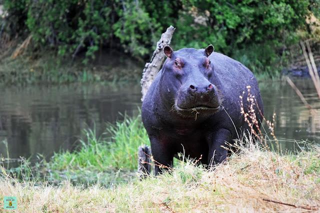Hipopótamo en Dizhana, Botswana