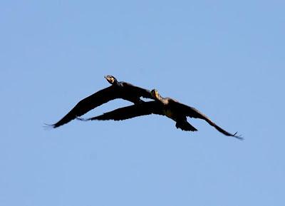 Cormoranes en vuelo