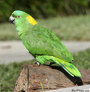 Parrots In India Parrot S Price In India