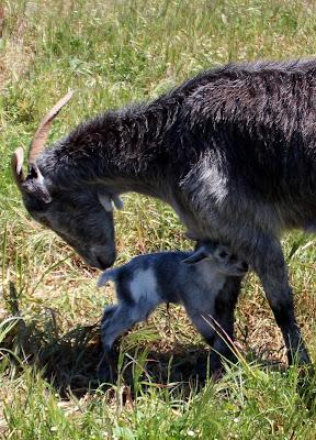 Cabrito recién nacido