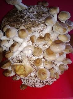 Pilze beim Wachsen