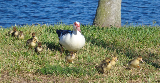 Mother muscovy and chicks walking near a lake