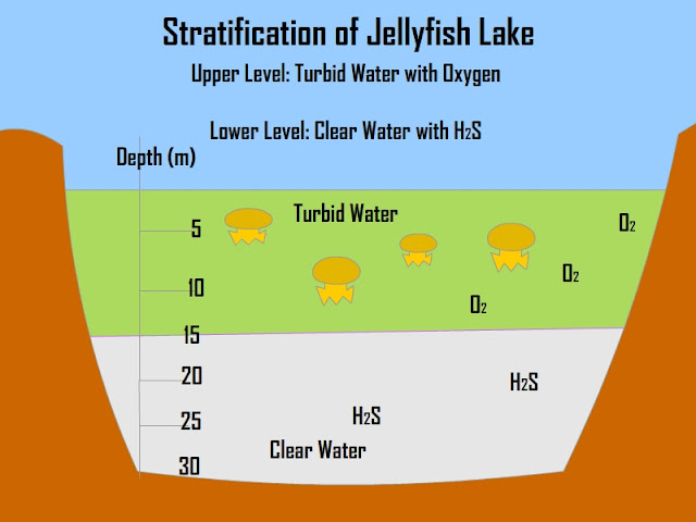 Stratification of the Jellyfish Lake