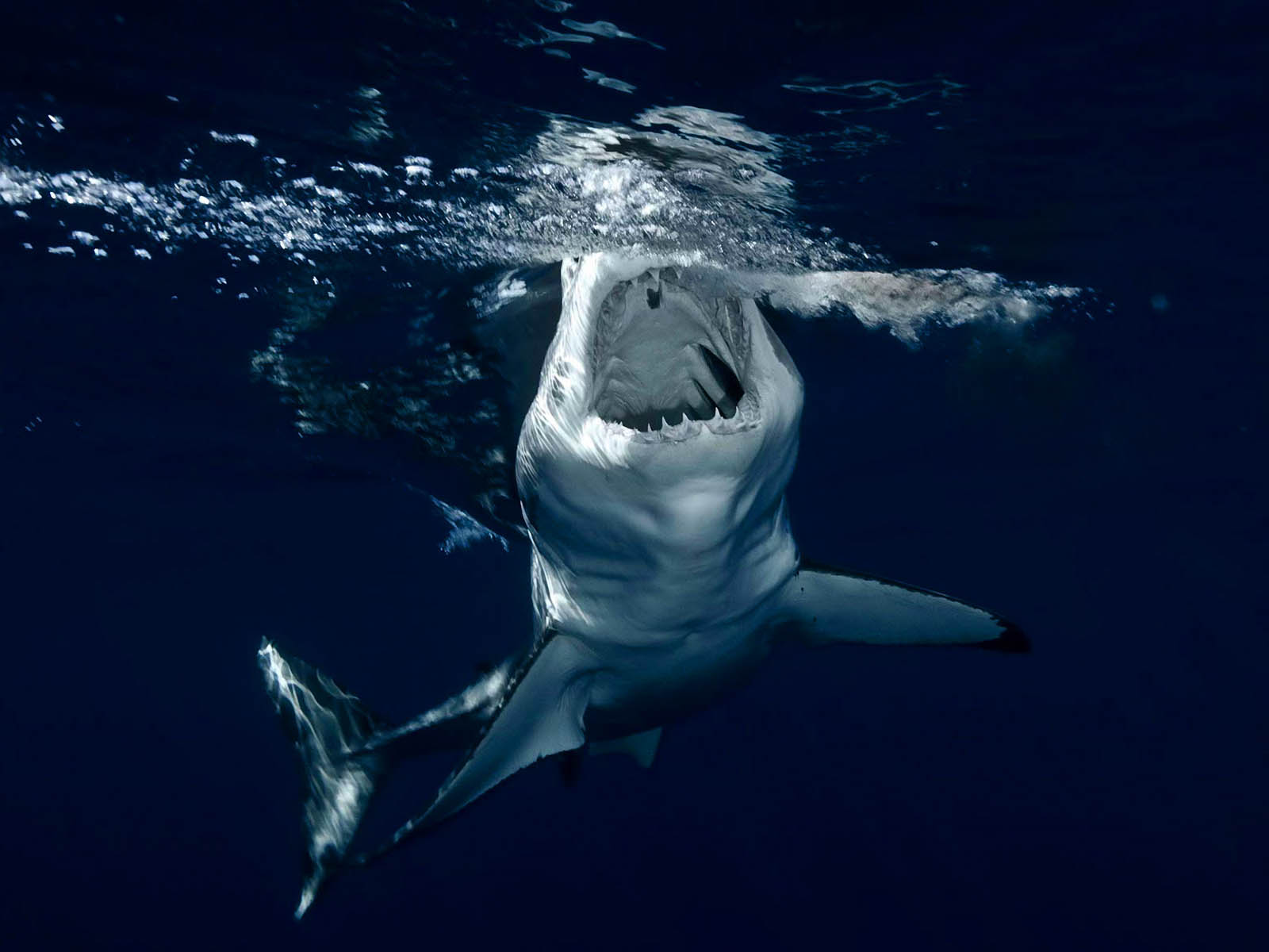 download shark wallpapers wallpaper - photo #3