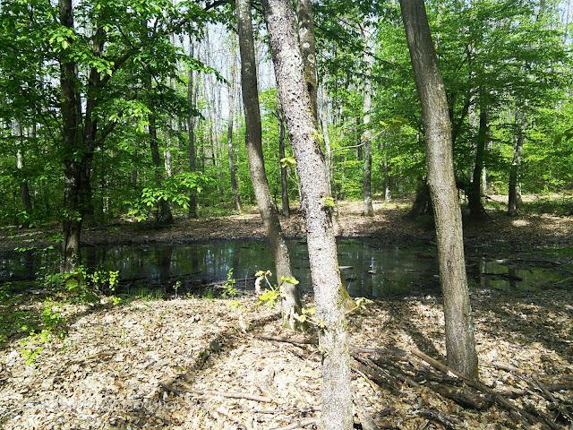 Dagonya az erdőben tavasszal