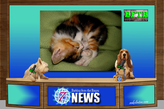BFTB NETWoof News reports on a rare male Calico kitten