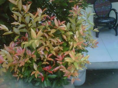 +Gambar pucuk merah, +Foto tanaman pucuk merah, +Bunga pucuk merah