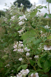 Even fruit blossom is good for bees, get a blackberry in your life.