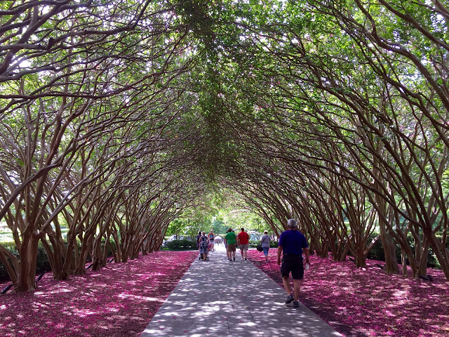 Huge tunnel of pink crape myrtles at the Dallas Arboretum with visitors strolling below.