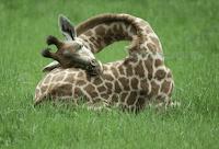 жираф спящий фото