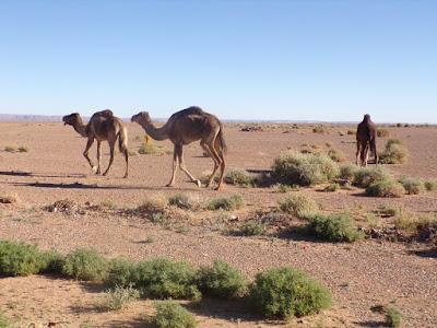 camellos hamada