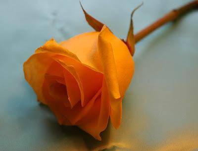 Arti Dari Enam Warna Bunga Mawar [ www.BlogApaAja.com ]