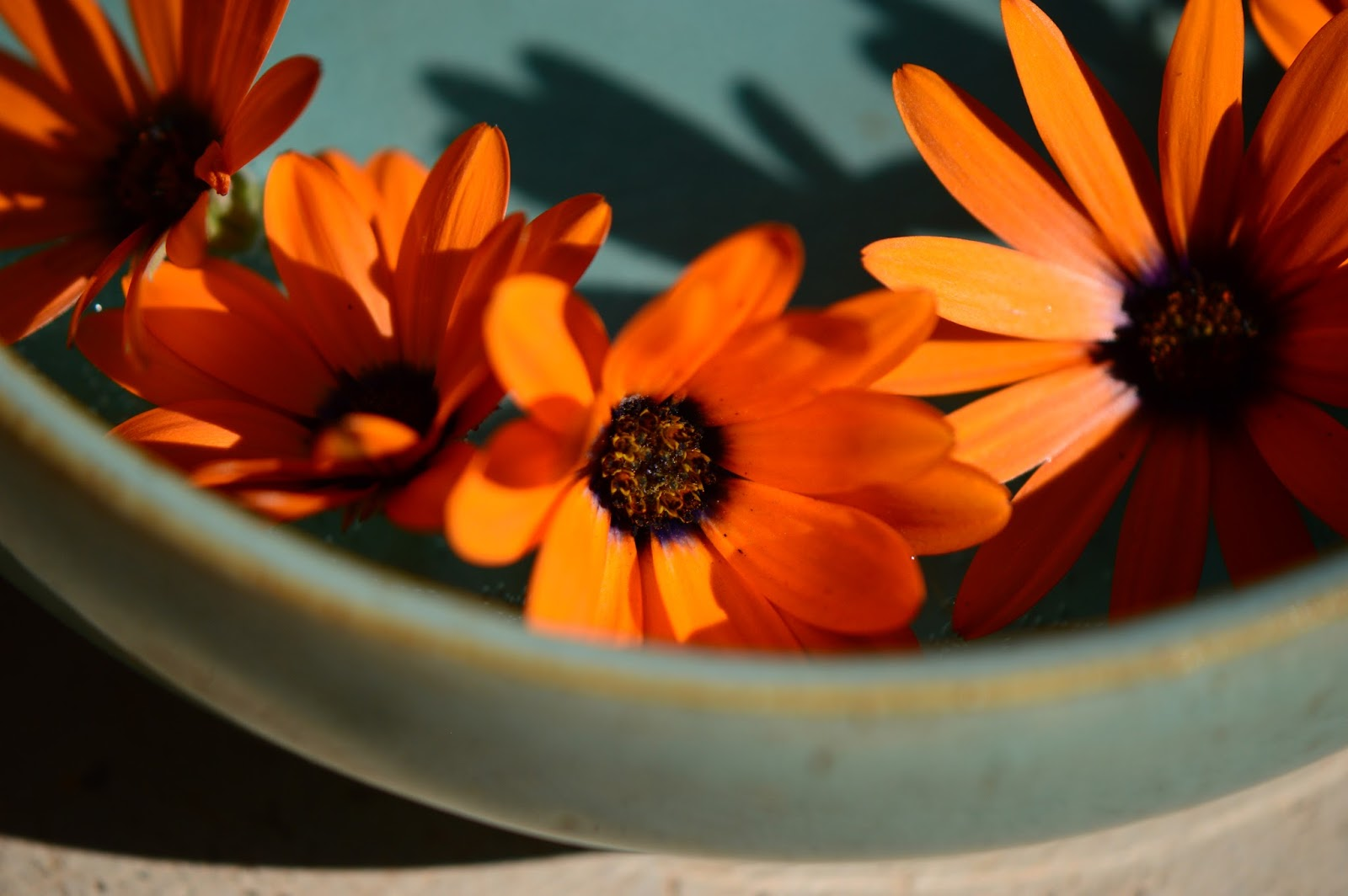 osteospermum, monday vase meme, ceramics by amy myers