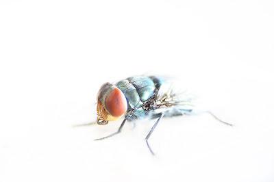 foto makro, makro, makro ekstrim, lensa kits, memaksimalkan lensa, macro photography, lalat, foto serangga