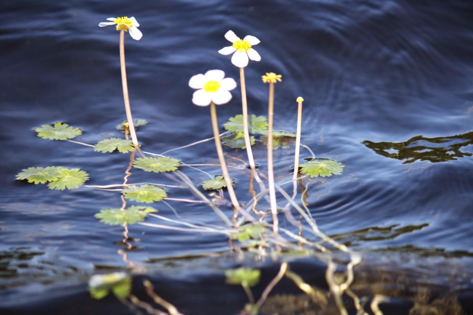 Vesikasvit Suomessa