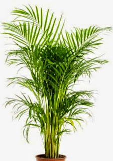 Areca Palm Chrysalidocarpus lutescens