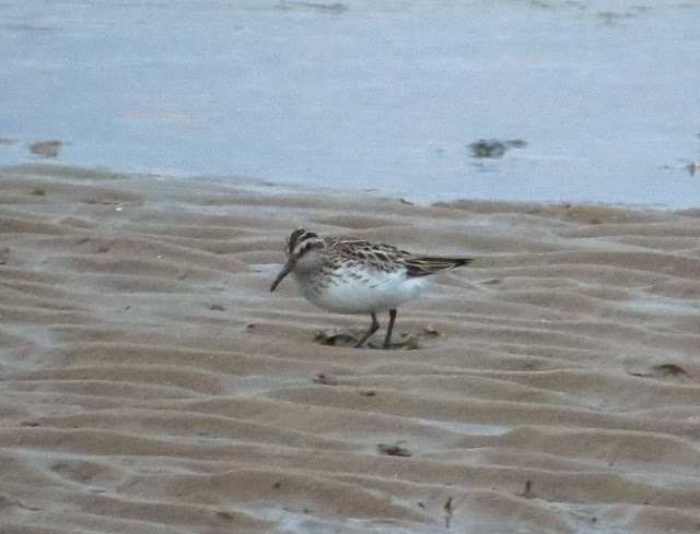 Broad-billed Sandpiper - Kimnel Bay