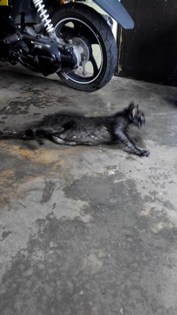 anak kcuing ,gambar kucing, kucing mati diracun