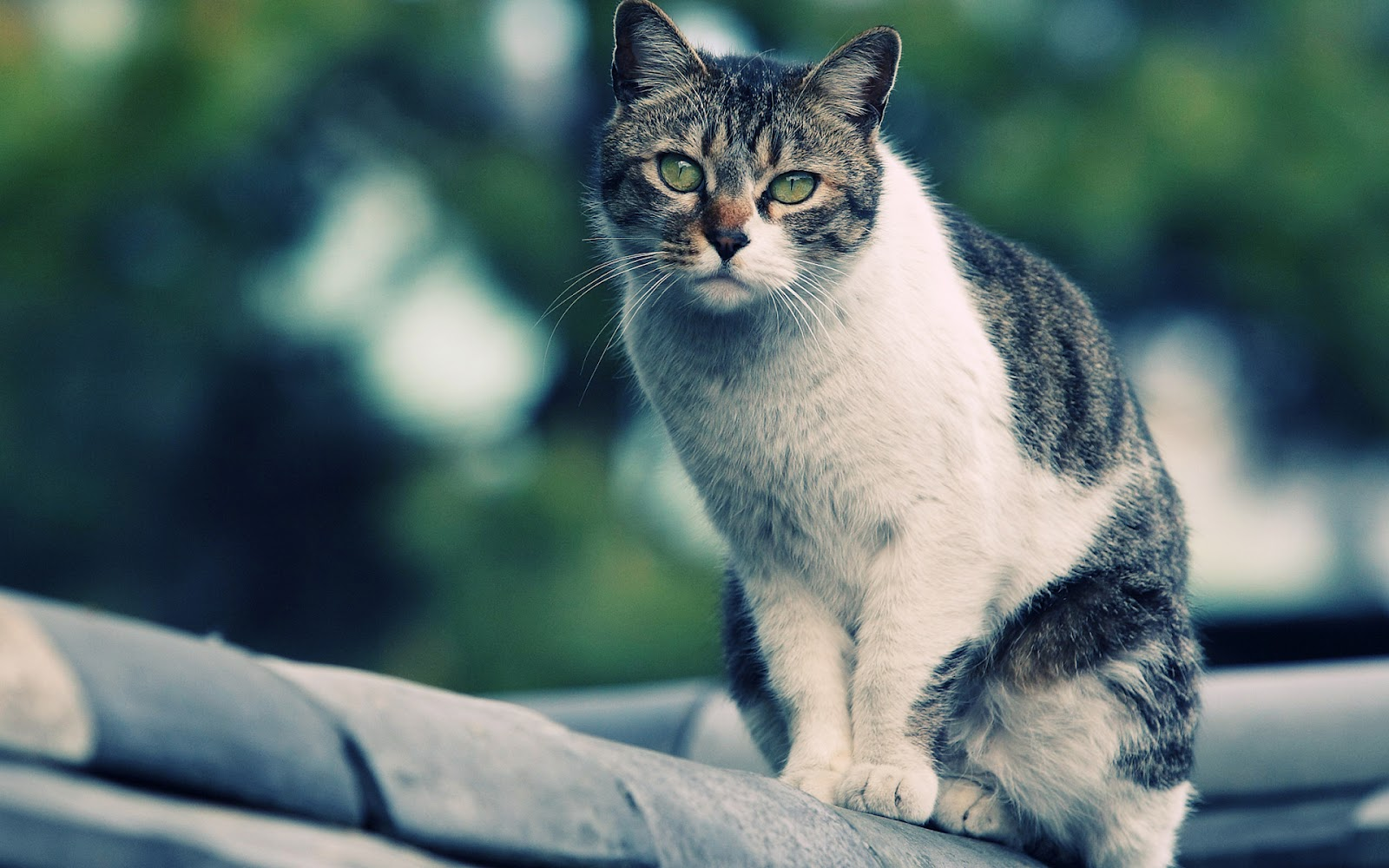 Proxecto gato cats wallpapers by bighdwallpapers - Kitten wallpaper ...