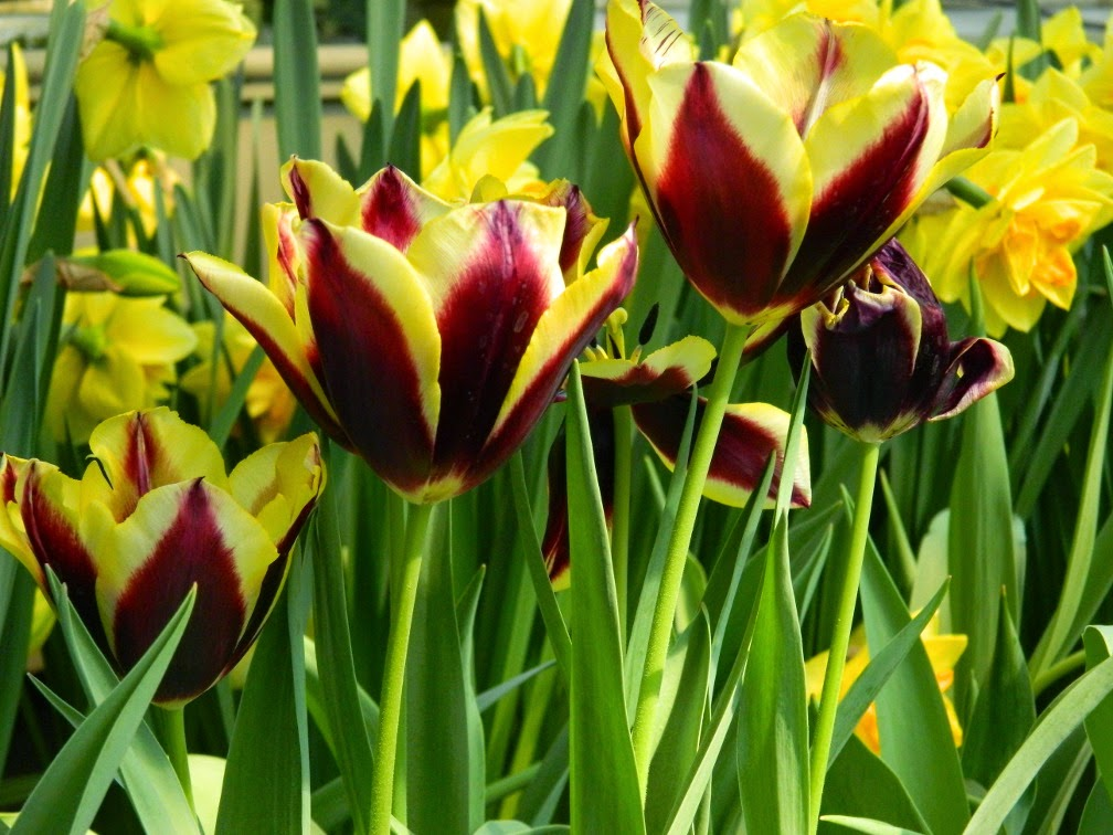 Tulipa Gavota Triumph tulips Centennial Park Conservatory 2015 Spring Flower Show by garden muses-not another Toronto gardening blog