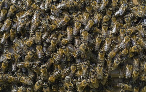 toque mp3 enxame abelhas barulho