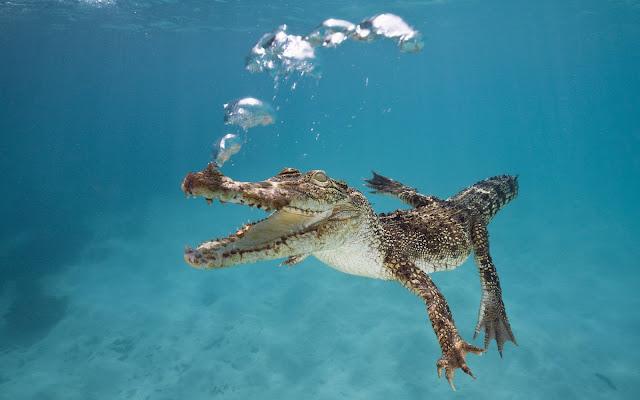 Krokodil die onderwater zwemt in helder water