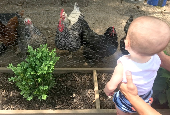 Chickens and Grandma's boy