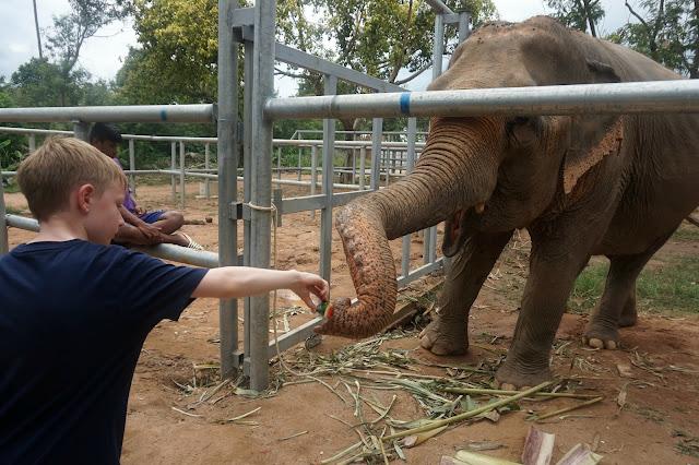 feeding an elephant at Samui elephant sanctuary